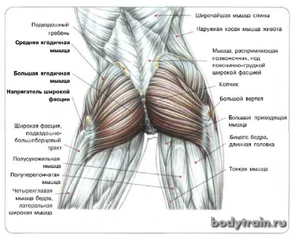 Анатомия ягодичной области