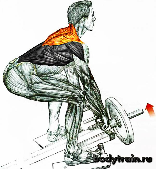 tjaga-t-grifa-anatomija