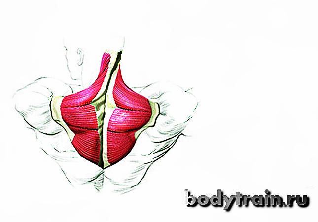 Анатомия трапеции