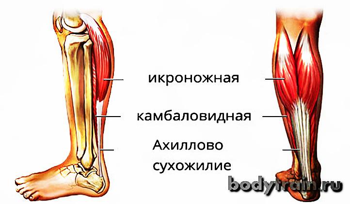 Анатомия мышц голени