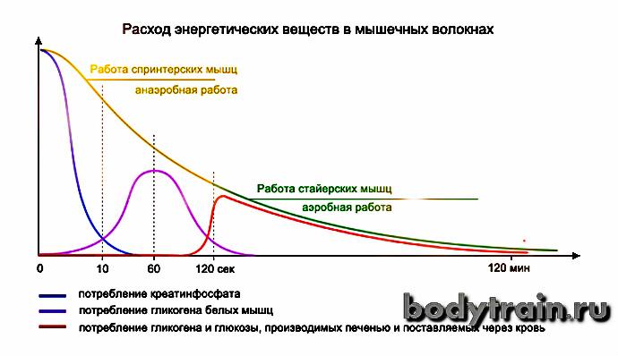 Энергетика мышц