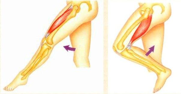 Движения мышц в суставах регуляция работы мышц- антагонистов