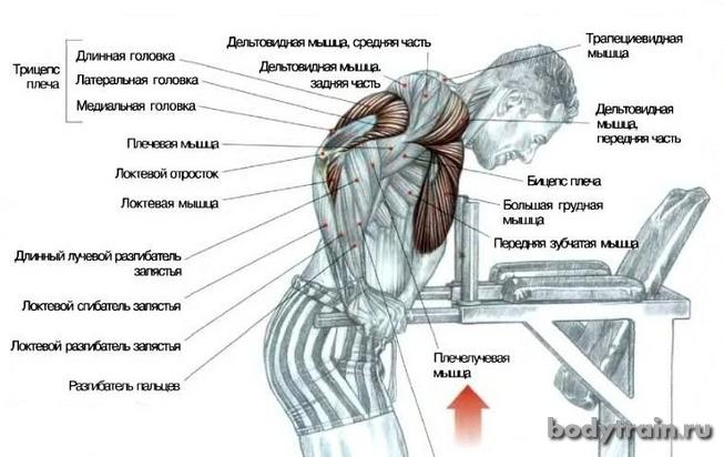 Отжимания на брусьях мышцы