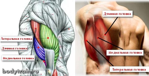 Трицепс - строение мышц