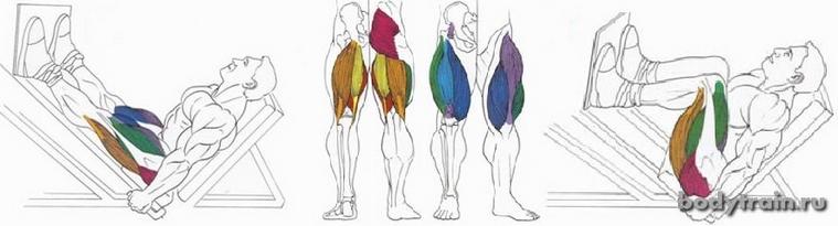 Жим ногами мышцы