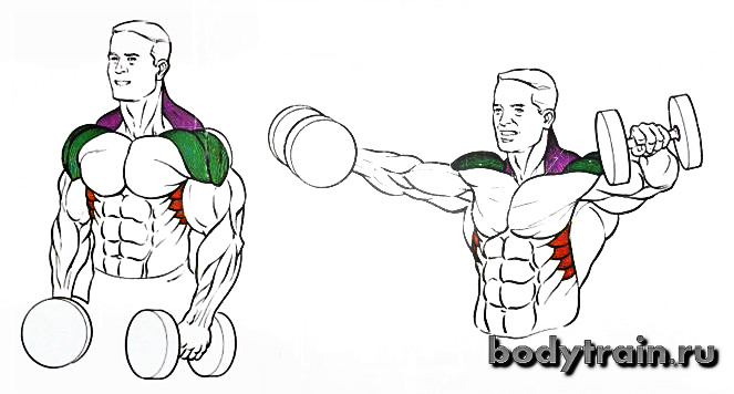Махи гантелями стоя - анатомия
