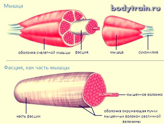 Мышечная фасция