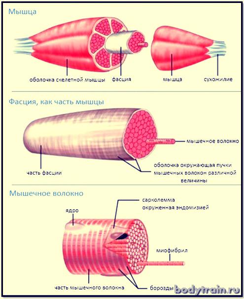 Строение мышечного волокна