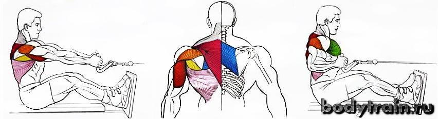 Тяга горизонтального блока - анатомия упражнения
