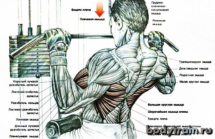 Тяга верхнего блока - анатомия