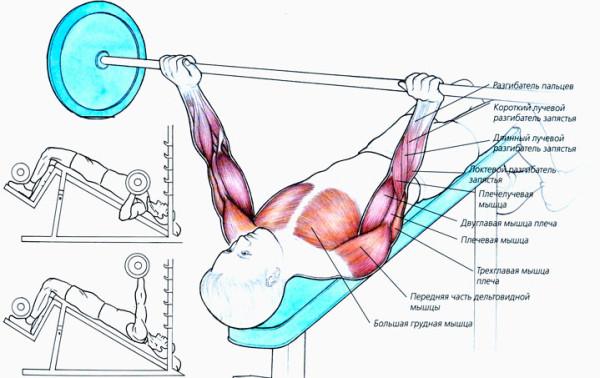 Какие мышцы работают во время жима
