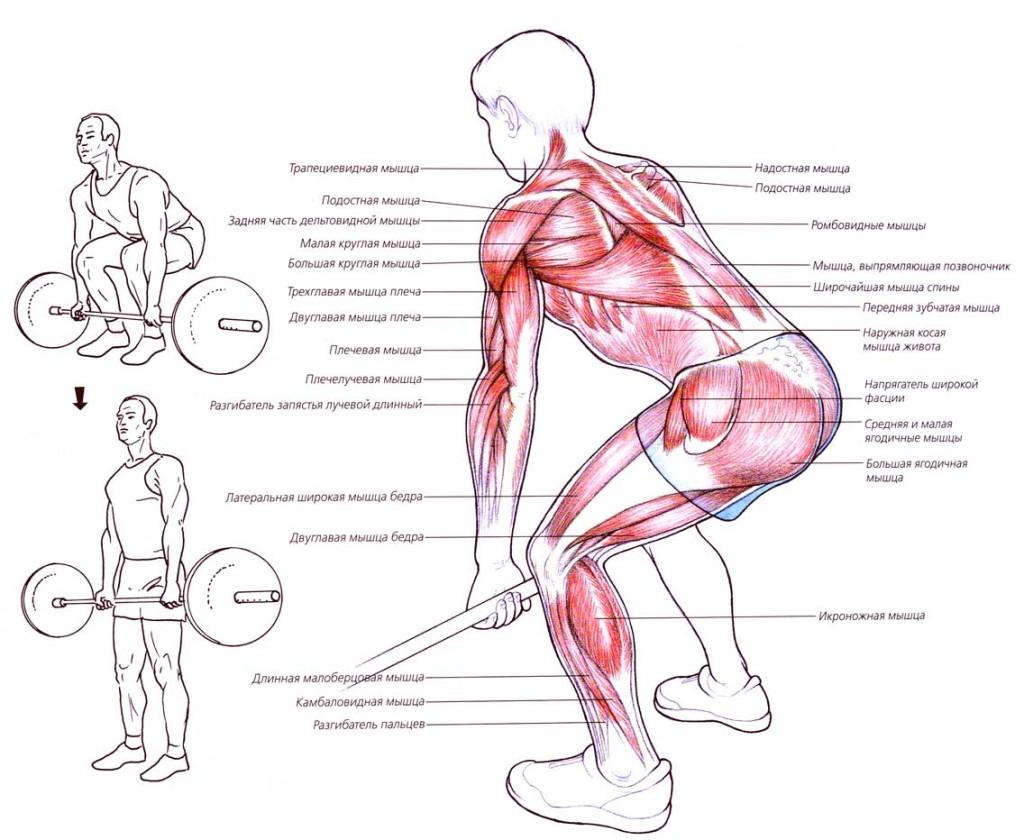 Мышцы, задействованные во вемя выполнения становой тяги
