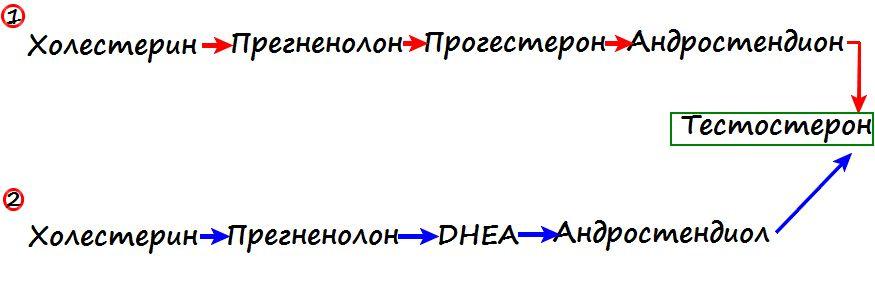 Схема выработки тестостерона